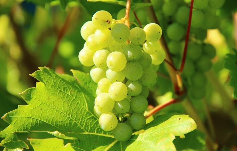 50 odrôd viniča k dispozícii našim vinárom